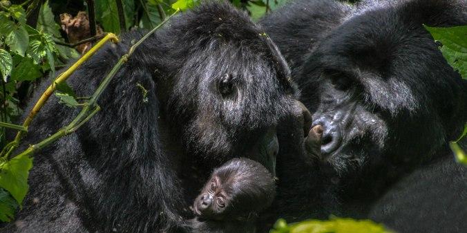Gorillas Edited-3
